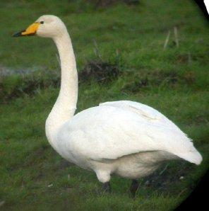 Whooper Swan, Photo from Birdwatch Ireland, Breffni Martin